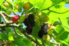 Eperfa gyümölcse
